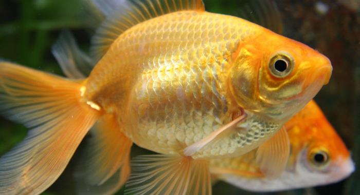 Come prendersi cura di un pesce rosso blog buoni sconto for Vaschetta pesci rossi offerte